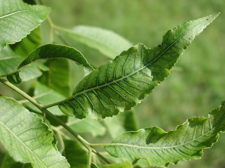 Pecan leaf with zinc deficiency