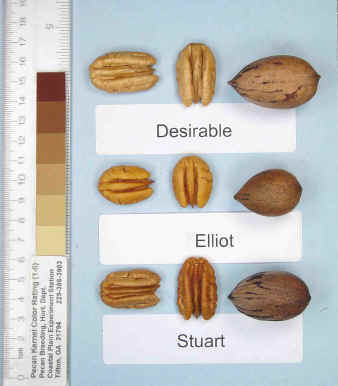 Photo of a desirable pecan, an Elliot pecan, and a Stuart pecan