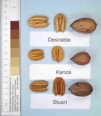 Photo of a desirable pecan, a Kanza pecan, and a Stuart pecan