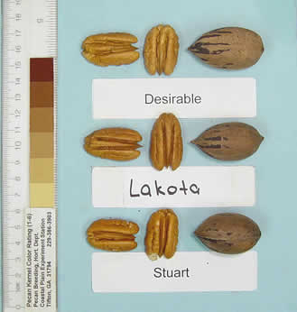 Photo of a desirable pecan, a Lakota pecan, and a Stuart pecan