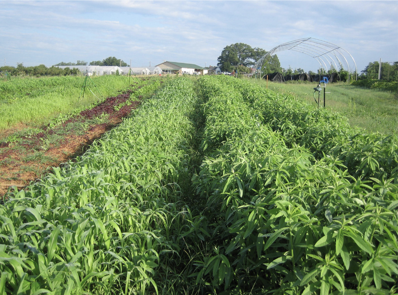 Field of sudangrass-sorghum and cowpeas