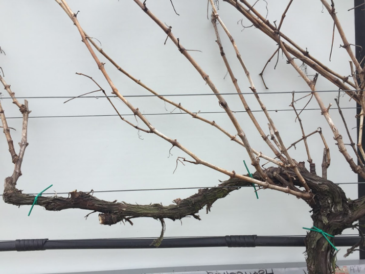 Pre-cane pruning