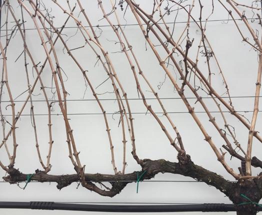 Spur-pruned shoot