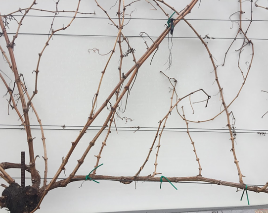 Cane-pruned shoot