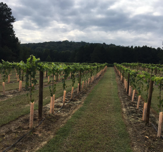 High-wire trained vineyard