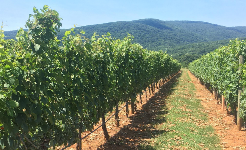 Low-wire trained vineyard