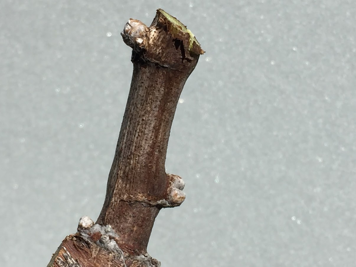 Buds on a cane