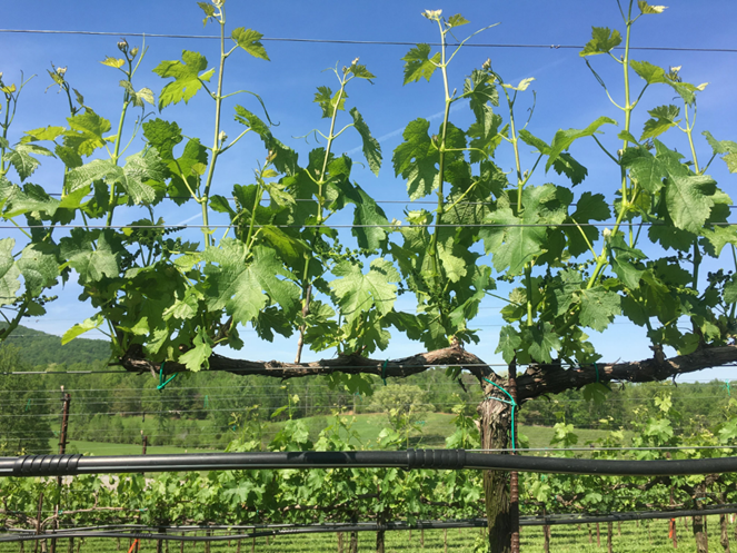 Bilatral cordon-trained vine