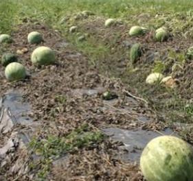 Dead watermelon vines