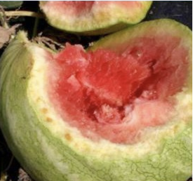 Infected watermelon with leathery, dark-red, glistening appearance