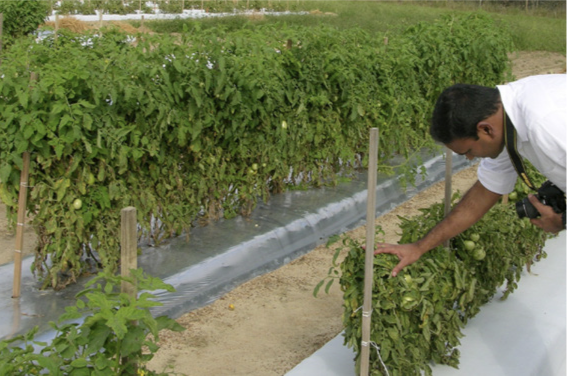 Man lookin at tomato plants