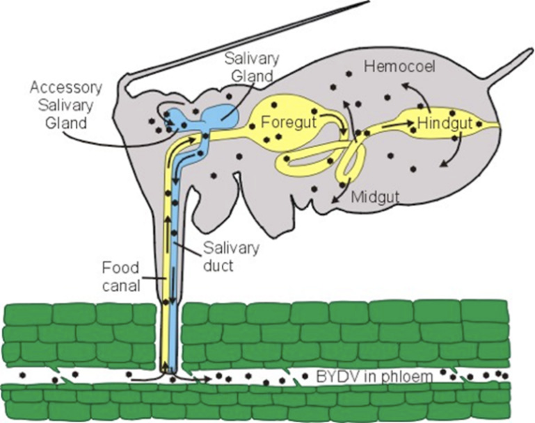 Diagram of anatomy of whiteflies