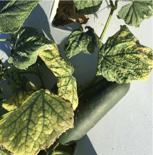 Yellowing leaves with curcurbit yellow stunting disorder
