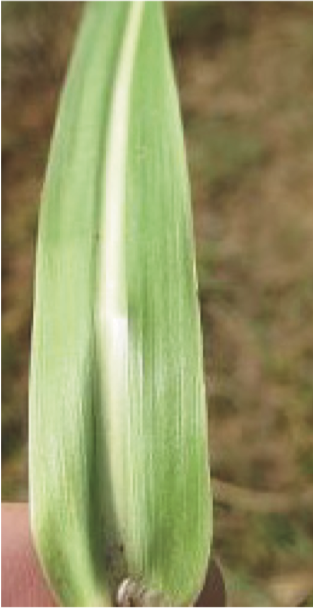 Johnsongrass leaf