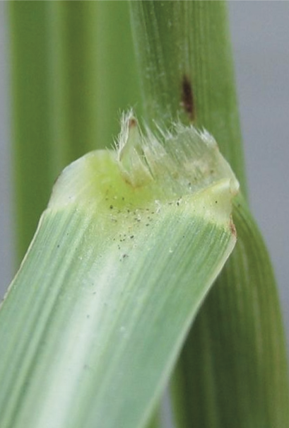 Johnsongrass ligule