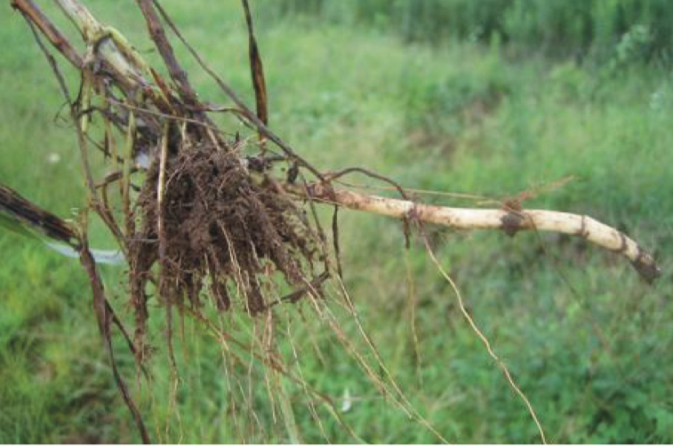 Johnsongrass rhizome