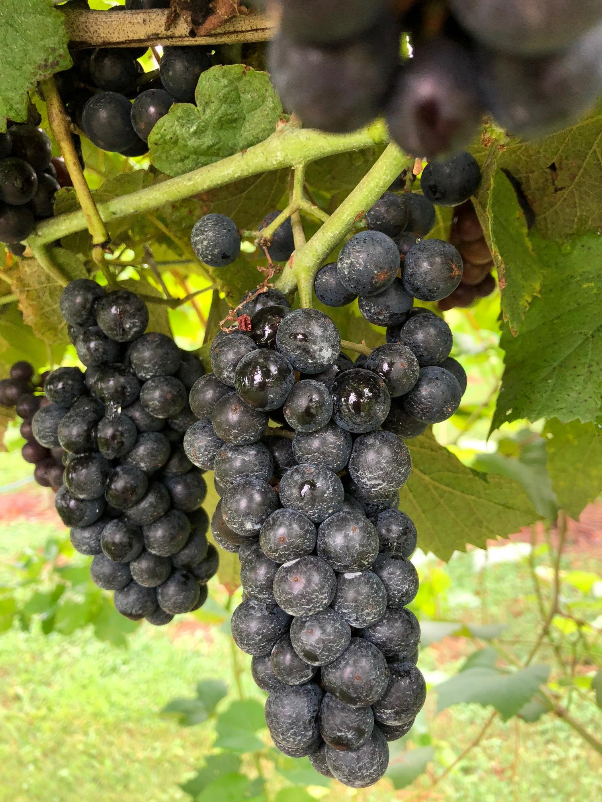 Lemanto grapes