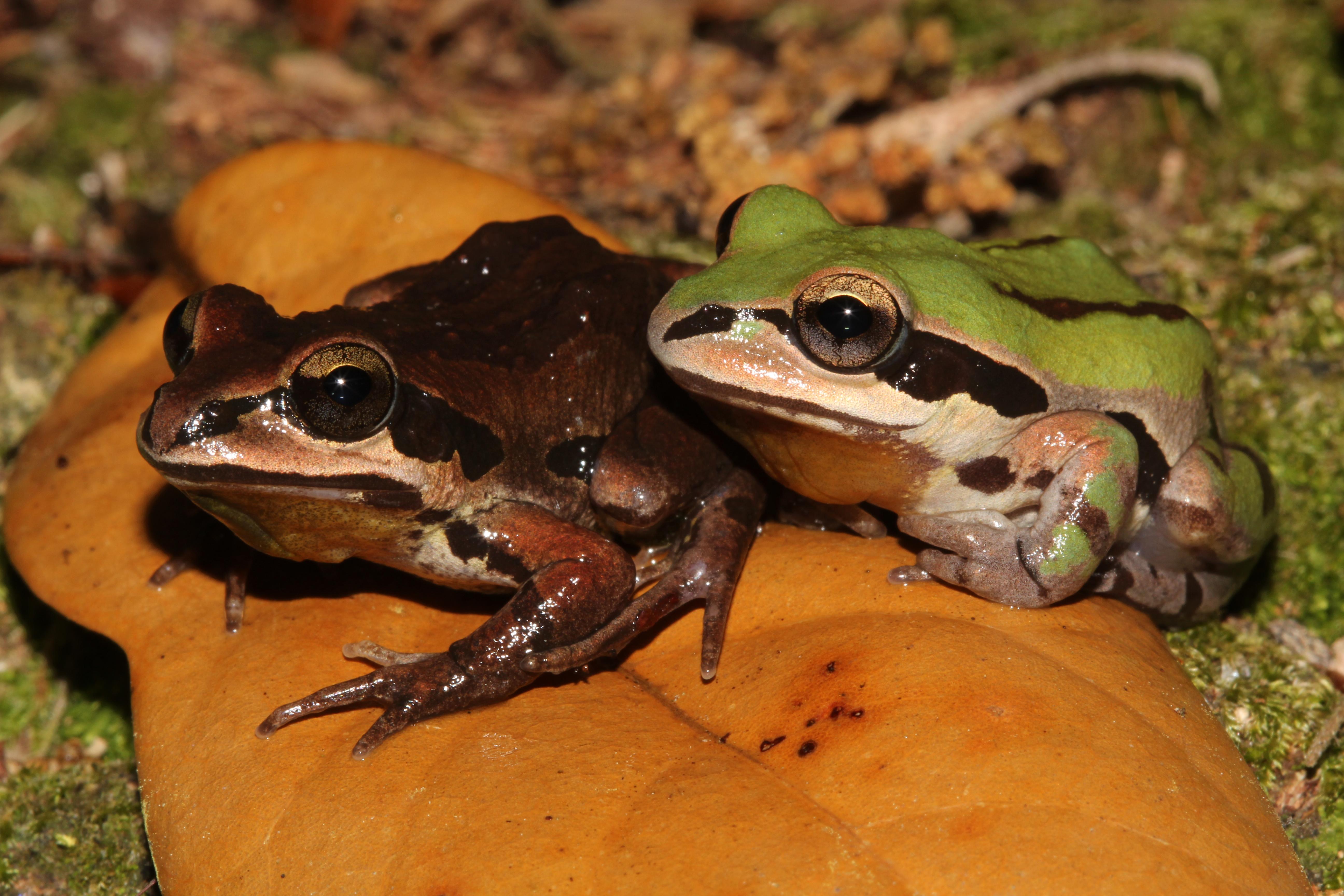 Ornate chorus frogs