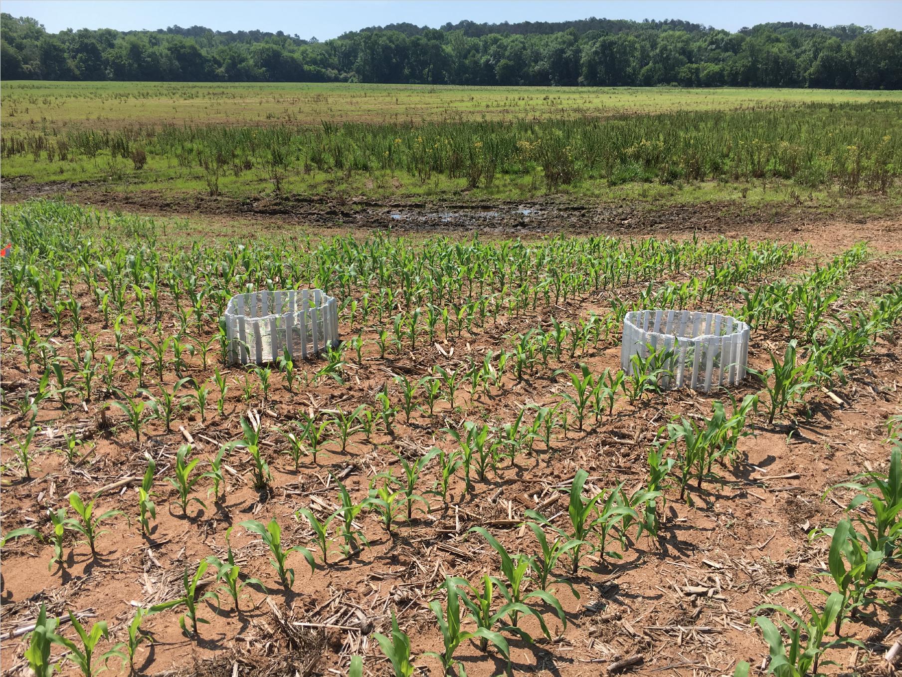 Wetland and corn field