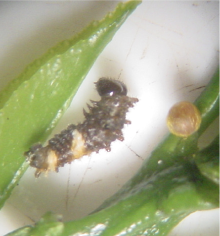 Giant swallowtail larvae and egg on a leaf