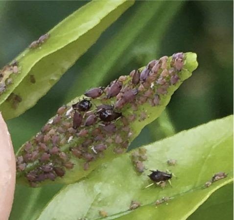 Brown citrus aphid on a leaf