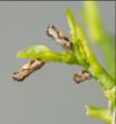 Asian citrus psylid adult on a leaf