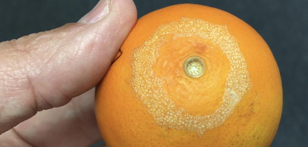 Damage on orange rind