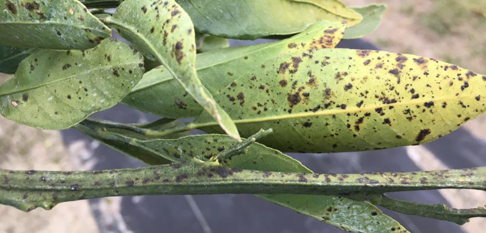 Greasy spots symptoms on older foliage