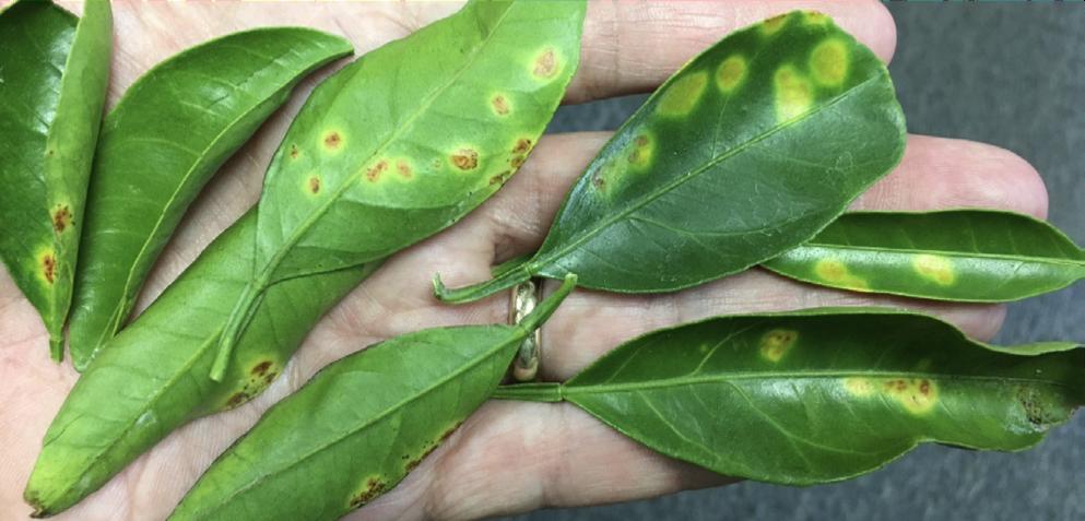 Alternaria leaf spots