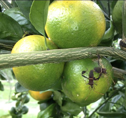 Leaf-footed bug damaging fruit