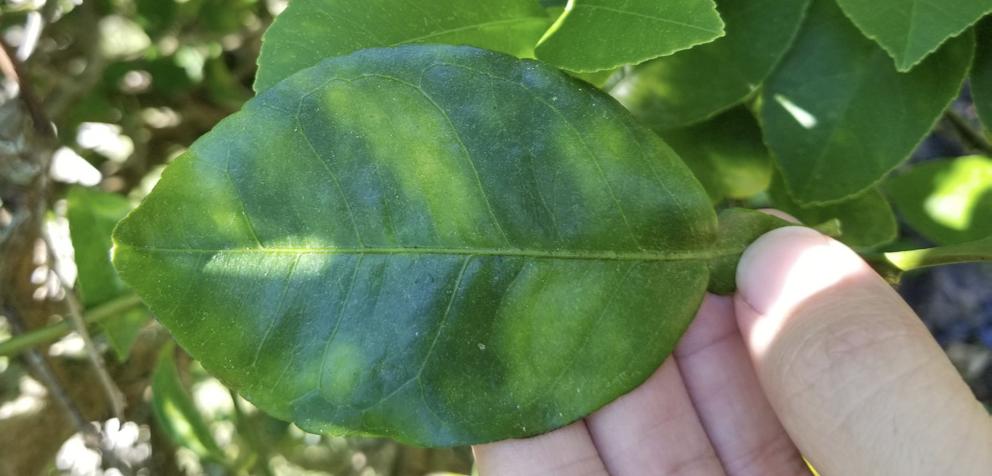 Asymmetrical yellowing of a leaf