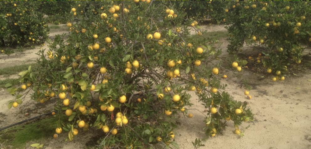 Droopy citrus plant
