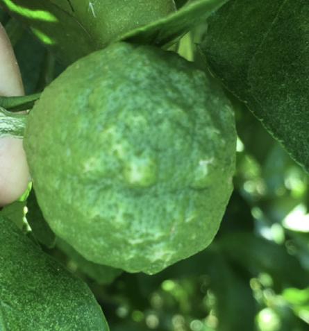 Citrus scab on fruit.