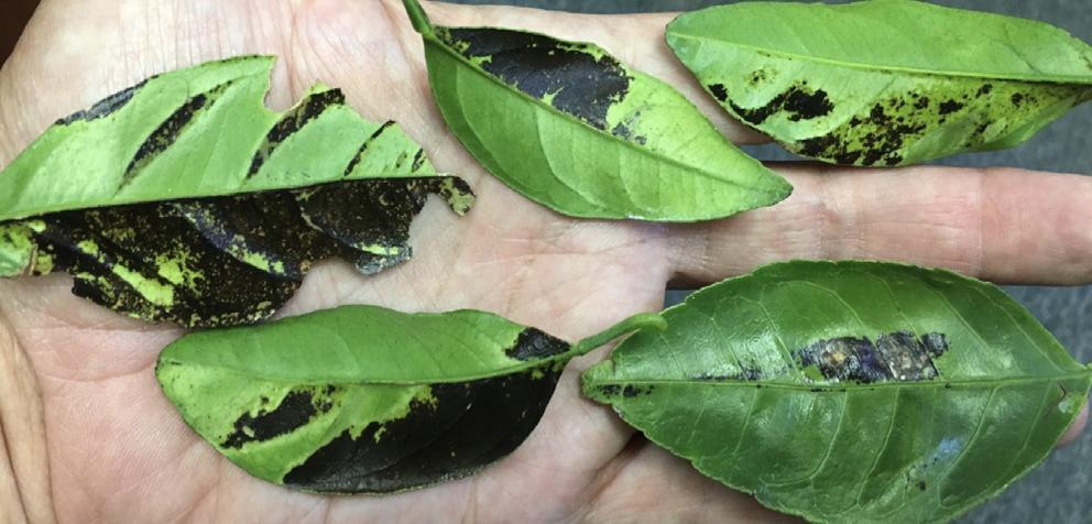 Brown gum spots on a leaf