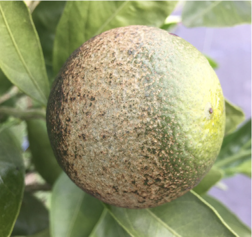 Damage to fruit in June