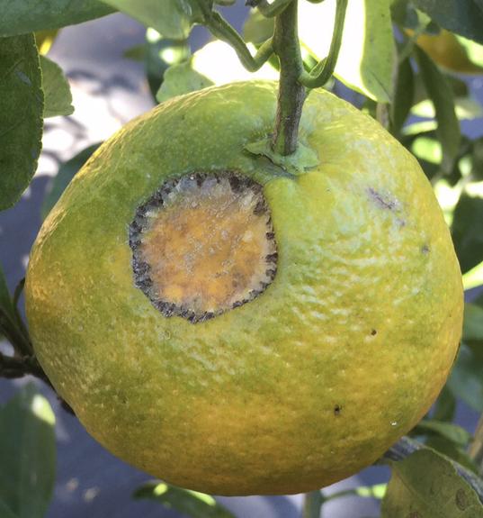Katydid damage on fruit