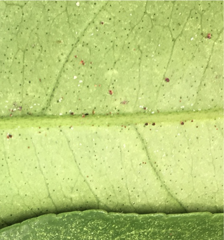 Citrus red mites near the mid vein of a leaf