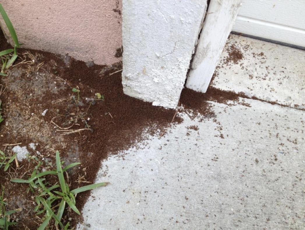 Dead tawny crazy ants under outside door frame