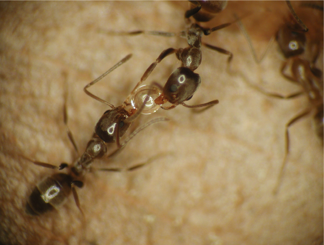 Ants exchanging food