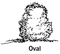 drawing showing the shape of an oval shrub