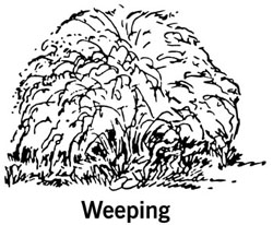 drawing showing the shape of a weeping shrub