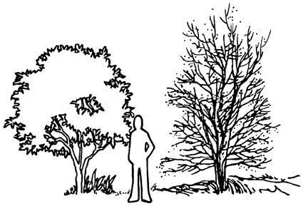 Drawing showing person next to two small trees. They are both several feet taller than the person.