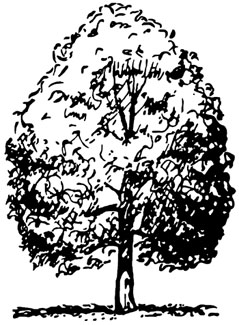 Illustration showing oval tree shape