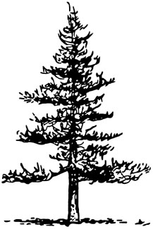 Illustration showing pyramidal tree shape