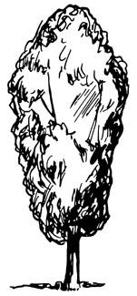 Illustration showing upright tree shape