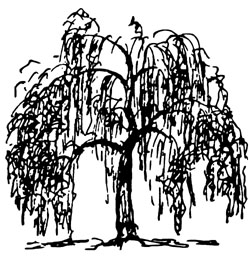 Illustration showing weeping tree shape