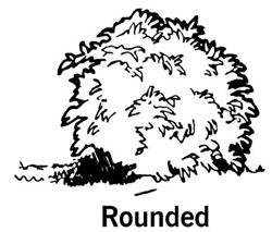 drawing showing the shape of a round shrub