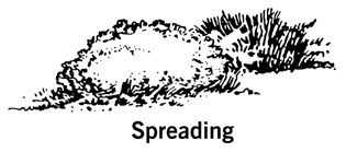 drawing showing the shape of a spreading shrub
