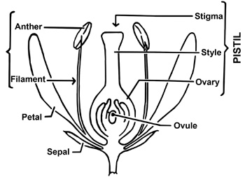 Parts of a flower drawing.