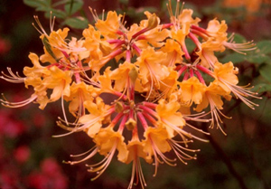 Florida azalea orange flowers